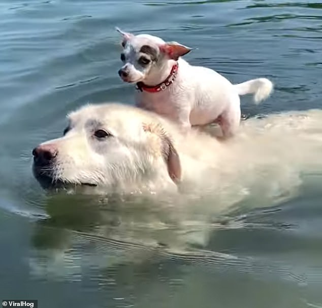 Tim the chihuahua can't swim, but he managed to piggyback his good buddy, Ben the Great Pyrenees