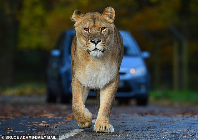 Visitors to this five-mile safari drive are safely shut up in their Covid-secure vehicles ¿ only a madman would be with these beasts on the other side of the glass or, as Caroline puts it: ¿It is generally advisable to socially distance from a lion!¿ Pictured: An African lion in it's enclosure