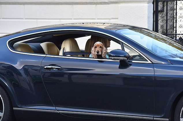 Travelling in style: Sasha poked her head out as she got the star treatment in the luxury car