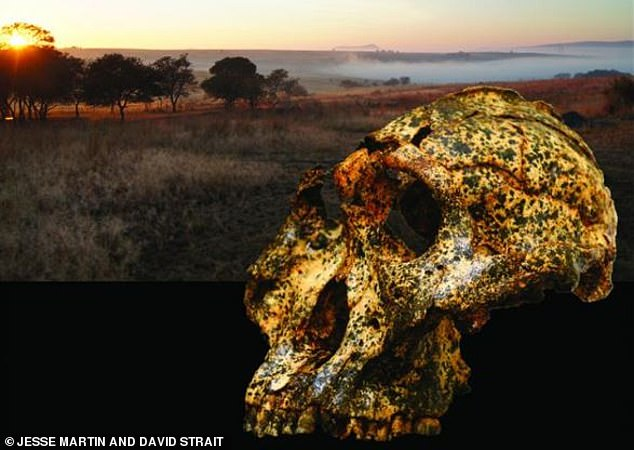 The emergence of Paranthropus robustus (pictured, skull of DNH 155) happened roughly at the same time as the more primitive hominin species Australopithecus died out. It is believed a period of rapid change in South Africa occurred due to significant climate change forcing animals to adapt, or die