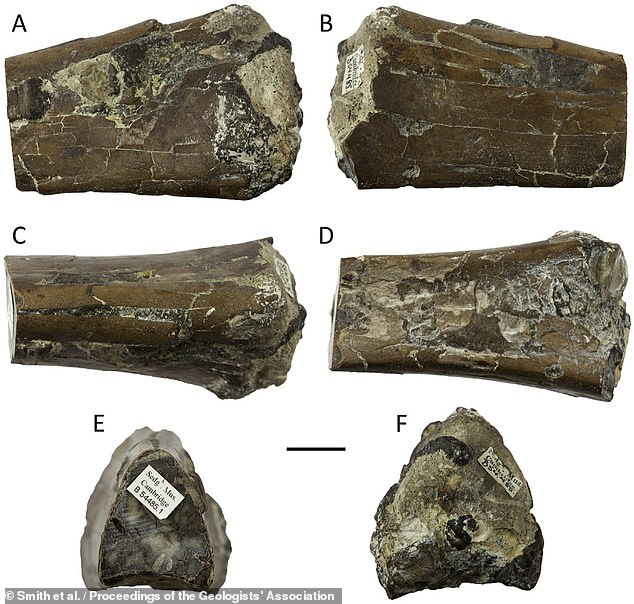 'This find is significant because it adds to our knowledge of these ancient and fascinating flying prehistoric reptiles,' saidpaper author and palaeobiologist Dave Martill, also of the University of Portsmouth. He added that it 'also demonstrates that such discoveries can be made, simply by re-examining material in old collections.' Pictured, jaw fragments that the team identified as coming from a pterosaur named Ornithostoma sedgwicki