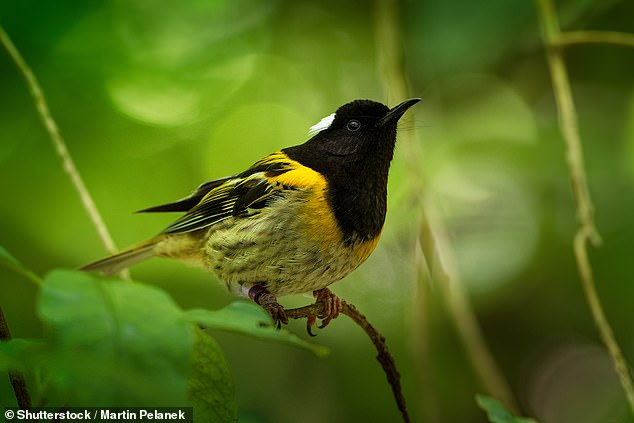 The hihi - a songbird which boasts extra large testicles - is among the avians competing to be crowned New Zealand's Bird of the Year after it was endorsed by a local sex shop [File photo]