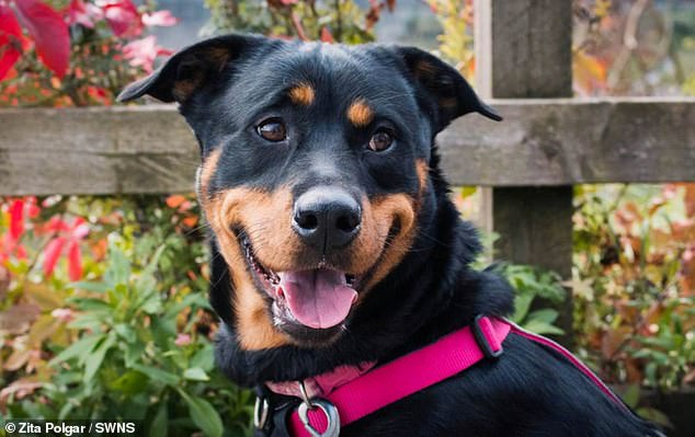 Joshua Ponsford, 23, has been banned from keeping pets for five years after being prosecuted for verbally abusing his dog, a Rottweiler named Lulu (pictured)