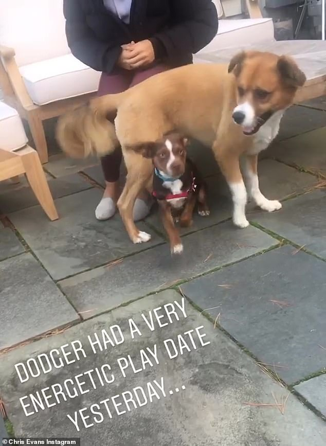 New buds: Earlier on Sunday, Chris shared a short video of his much larger dog Dodger playing with the little puppy Milo