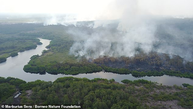 Pictured, a peatland fire in Indonesia spreads into forest. Researchers say protecting the swamps is crucial not only for conservation but for preventing future human pandemics