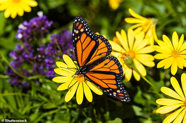 And as a butterfly.It's known for its ability to migrate across large distances. The migrations in north America are one of the greatest natural phenomena in the world