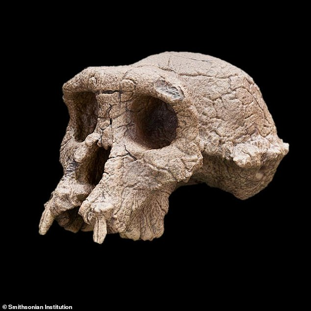 Brunet maintains the base of Tumai's skull shows it would have rested on an erect spine. But doubts about whetherSahelanthropus was bipedal have only grown with the release of a new report suggesting the creature's femur shows it walked on all fours, like an ape