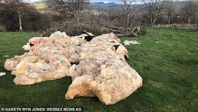 But due to the virus, the price offered is now often worth less than the fuel the farmers would use to drive it to the depot.Pictured: Fleeces piled in South Wales