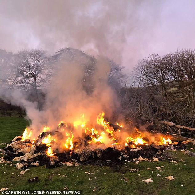 Farmers are dealing with the pile up by either burning the wool or using it for compost. Pictured:Fleeces set on fire in South Wales