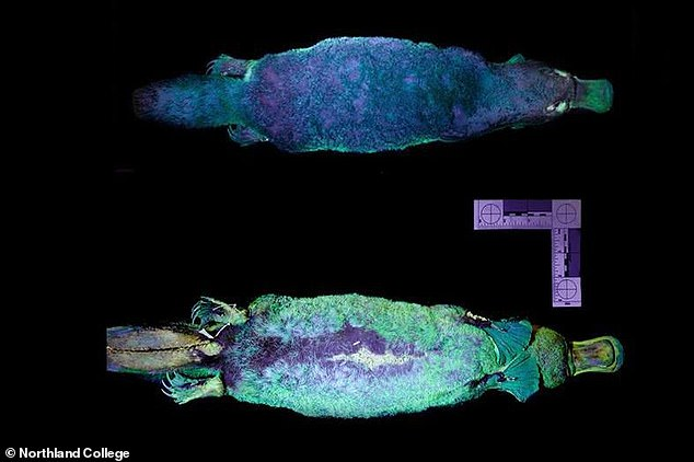 Platypuses have been found to glow green under UV light. It was an accidental discovery by researchers at Northland College in the US