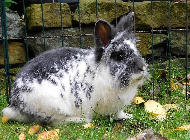 Two-year-old Lionhead rabbit Hamish came into RSPCA care in October last year alongside 180 other small animals