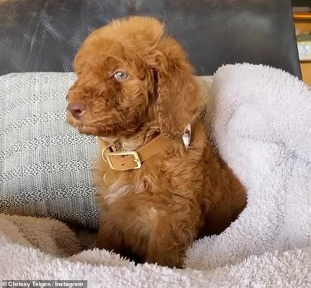Great expectations:'He's a standard poodle,' she tweeted after sharing his first photos, adding, 'and if he's anything like his dad, he will be the biggest caramel Gumby ever seen'