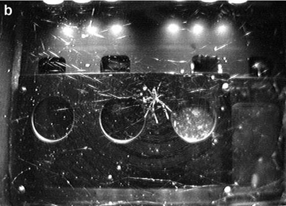 When working under lamp light, the researchers noted that the cobwebs became asymmetrical again, as shown - with the centers of the webs closer to the light and the arachnids pointing themselves away from the lamp.