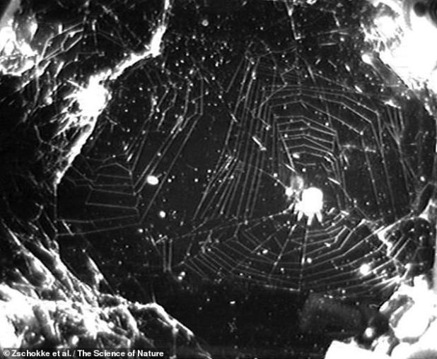 In its first study in 2008, NASA sent two intrepid 'Arachnotes' to the ISS - a labyrinth orbeaver ('Metepeira labyrinth'), as the main subject, and as a second species of backup orbare, in the case of Larinioides patigiatus .  Was not alive before.  Unfortunately, the test did not go according to plan.  First, one of the spiders crawled out of his cage into his mate - meaning that the two spiders made a tangled picture of the webs moving around.