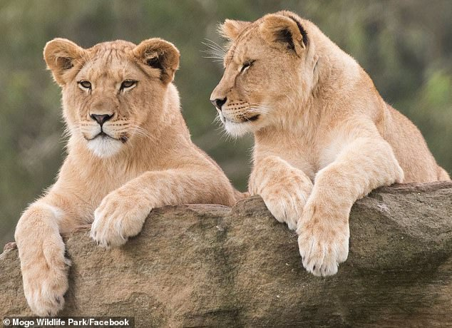 Lionesses Chitwa and Zuri in happier days at Mogo. Chitwa gave birth to her first cub, Phoenix, in January during the horrific NSW bushfire crisis. Zuri died after giving birth to a litter of four