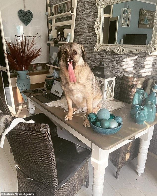 Cheeky: The pooch sits on the kitchen table in the Netherlands and distracts her owner from work