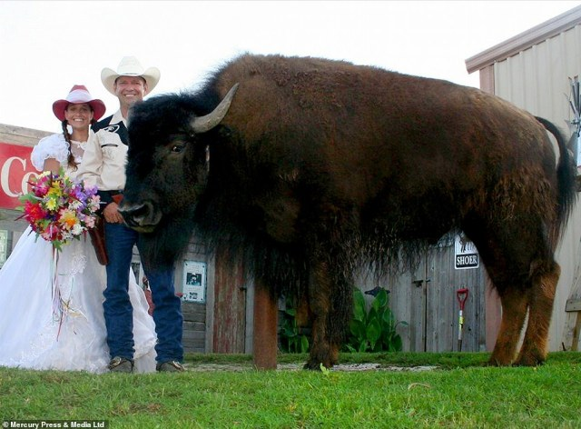 The buffalo is such a big part of his owners' lives, he was even R.C.'s best man when he and Sherron married 10 years ago (pictured)