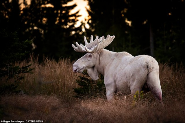 Roger Brendhagen, 52, caught a glimpse of the moose during a walk through the countryside near Värmland, where about 30 of the animals are thought to live, according to Brendhagen