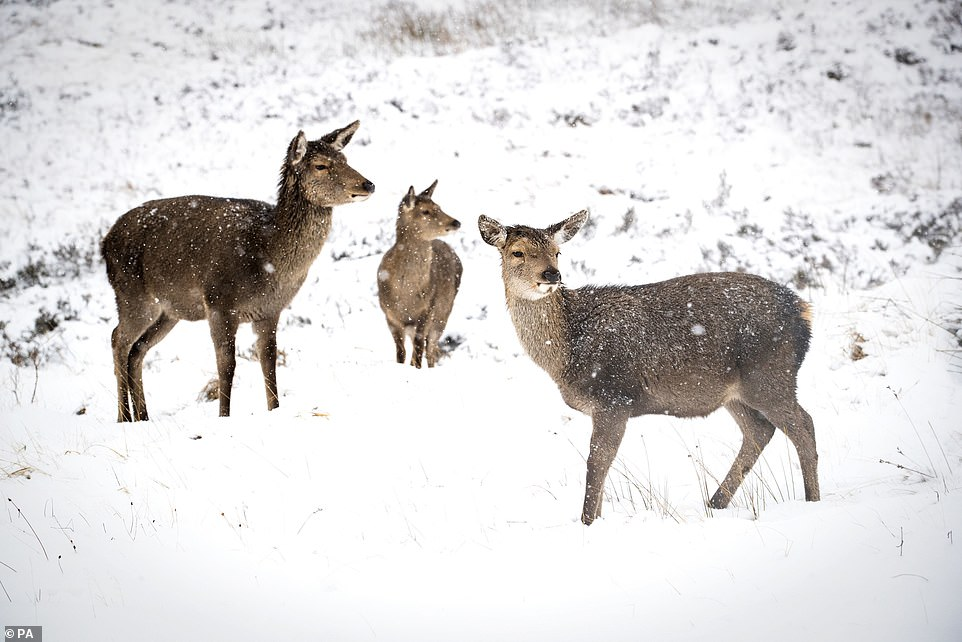 Parts of the UK were already blanketed on Sunday despite Bella brining high winds and heavy rain overnight. Pictured: Red deer enjoying the snow at Glencoe, Scotland