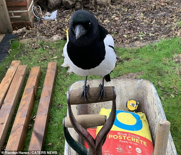 The black and white bird, usually known for stealing shiny objects in an effort to attract a mate, perched on Mr Hanan's shovel