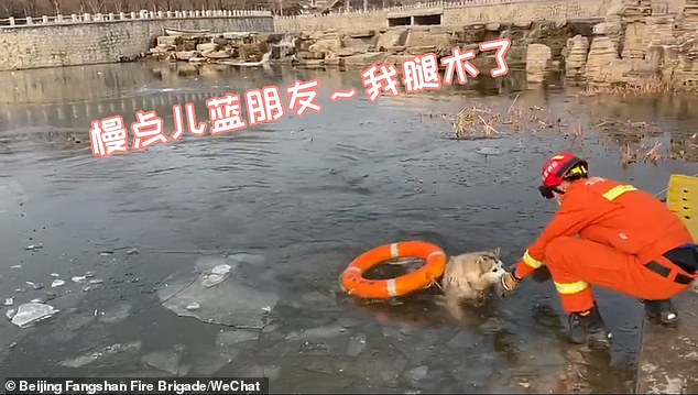 The canine accidentally fell into the freezing water while being walked by its pet owner on Saturday when the temperature dropped to minus eight degrees Celsius (17.6 degrees Fahrenheit) in the Chinese capital. The husky was rescued by local firefighters