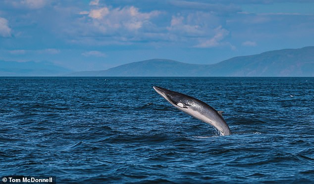 Minke whale breaching (archive).There was an increase in minke whale and porpoise surveys carried out by members of the public in Yorkshire