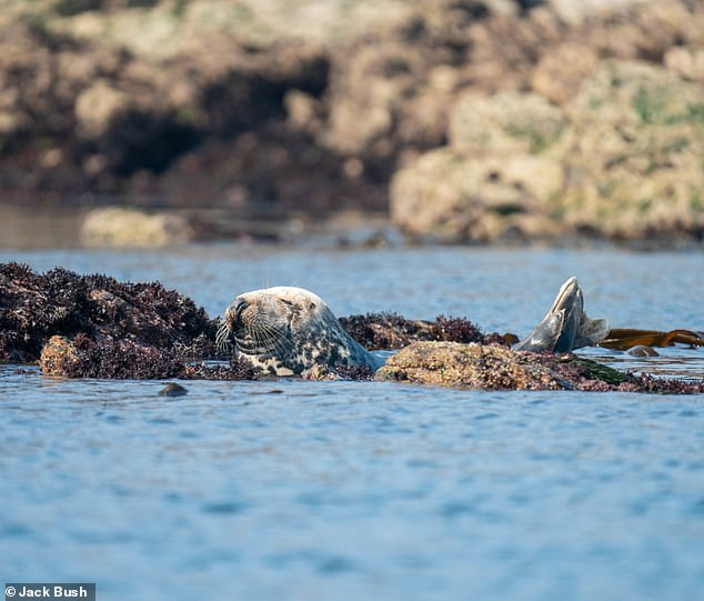 Pictured, a grey seal enjoying life in Alderney, the northernmost of the inhabited Channel Islands