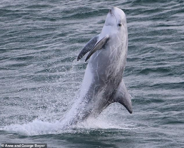Risso's dolphin breach, Wales.The Risso's dolphin is a large, stocky dolphin, without the 'beak' and with a large and upright dorsal fin
