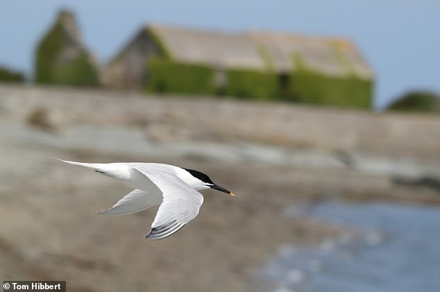 Sandwich tern at Cemlyn nature reserve.The Sandwich tern is a very white tern, with a black cap on its head, a long black bill with a yellow tip and short black legs. In flight it shows grey wedges on its wings tips and it has a short forked tail