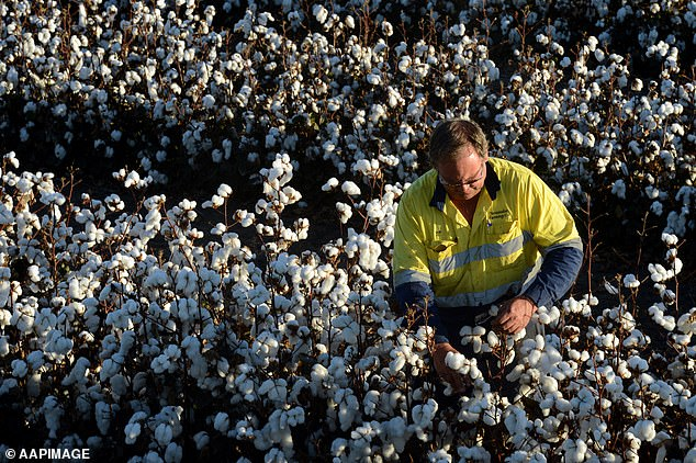 Cotton is among a growing list of Australian exportsChina has placed sanctions on. Pictured is a Queensland cotton farmer inspecting his crop