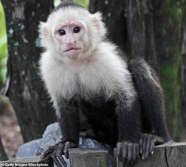 Capuchins and macaques had to keep a cursor on a moving target to get a reward. If they spent too long on a level they wouldn't get a treat, but the monkeys kept trying to win the same one round, rather than just start over on another