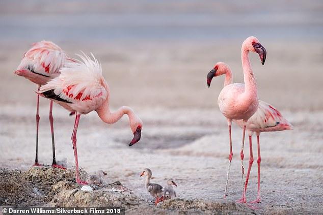 Attenborough cameraman Matt Aeberhard shot a clip in 55c heat, of flamingos flocking by the millionat the salt bed of Lake Natron in Tanzania