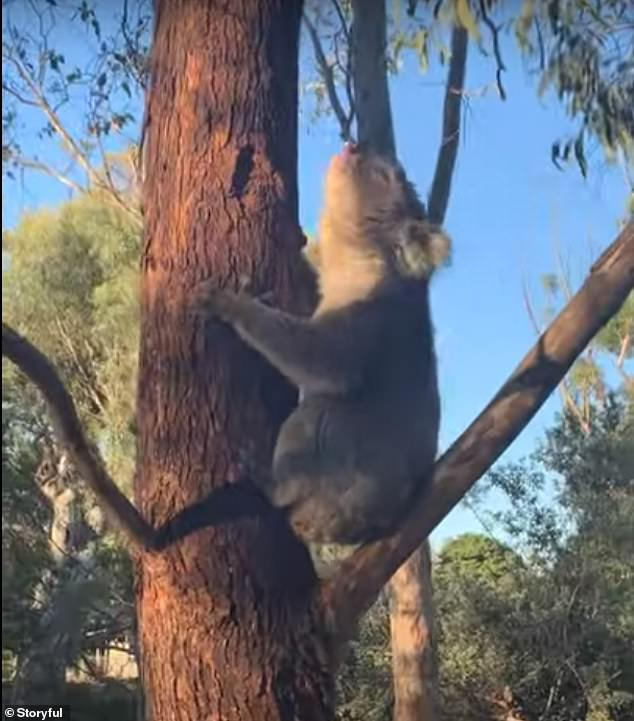 Video showed the koala near the Adelaide Koala Rescue Clinic in Campbelltown, South Australia, sitting at the bottom of a tree