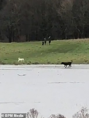 A couple of dogs ran on the field beside the ice skating animal and tried to play