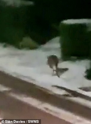 A homeowner was left stunned when she saw a wallaby hopping along her snow covered street in Hereford