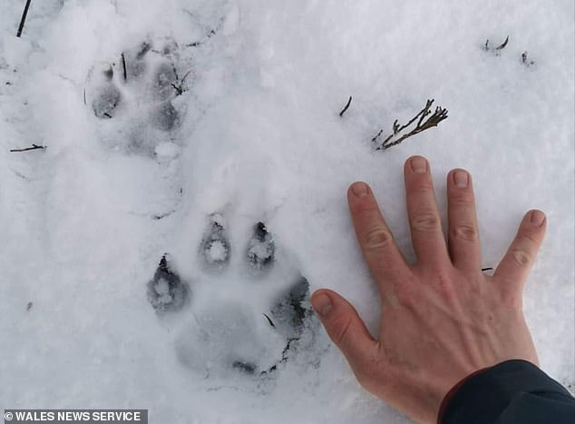 There have been a series of reports made to the Puma Watch North Wales group since November - with apparent sightings across the area. Pictured: Paw prints found in Rhiwlas, Bangor last year