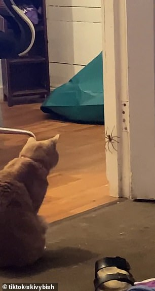 An Australia woman has panicked as her cat Cinnamon (pictured) watched a huge spider