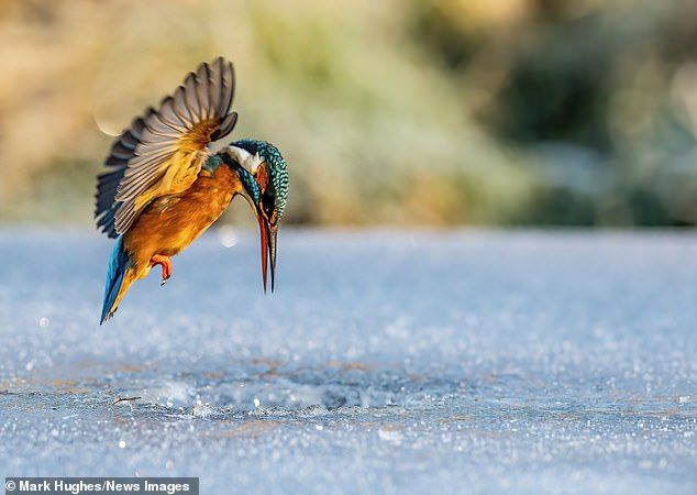 Photographer Mark Hughes, 58, from Yorkshire, cut a small hole in the frozen lake in Leeds to allow the kingfisher to plunge beneath the ice to catch its prey