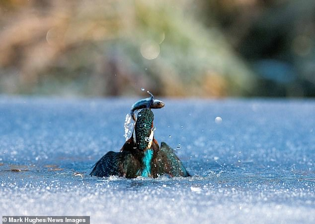The kingfisher swooped beneath the surface to capture the fish in the freezing conditions