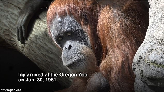 Oregon Zoo's 61-year-old Sumatran orangutan was euthanized on Saturday after her health deteriorated