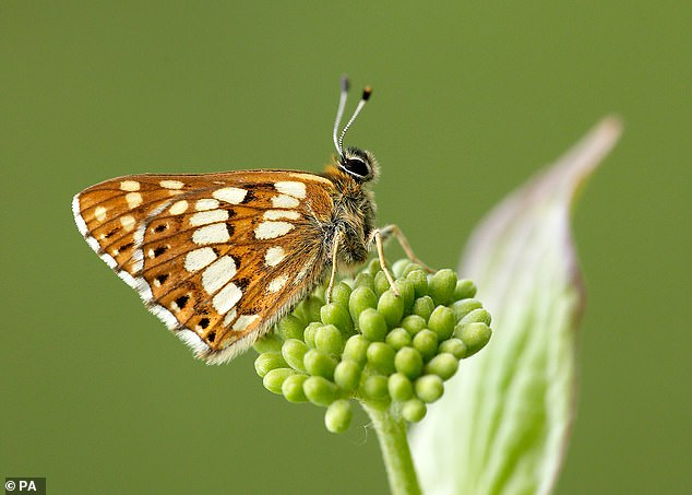 A project is underway in Kent's North Downs to create clearings in the woodlands and boost plants that provide Duke of Burgundy butterflies (pictured) with key habitats and resources