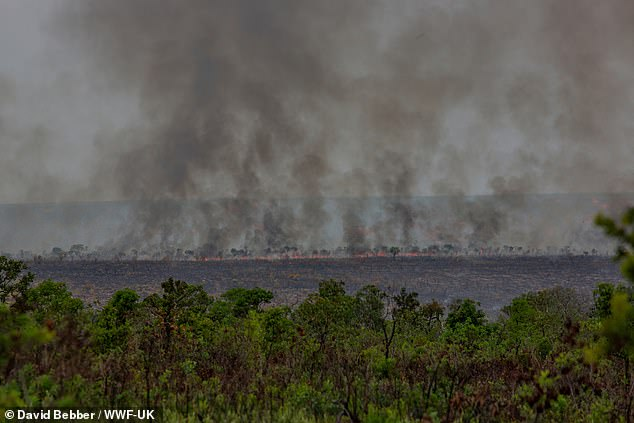 The global conservation charity's 'Deforestation Fronts' report examined 24 hotspots for the destruction of forests across 29 countries in Africa, Asia and Latin America. Pictured, a fire burns in the Cerrado, Brazil, where a million hectares of forest are destroyed each year to make way for soy plantations for food, animal feed and biofuel production