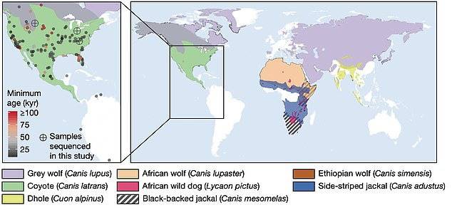 Researchers looked at the distribution of wolves around the world - with dire wolves only found in North America and not interbreeding with other canines