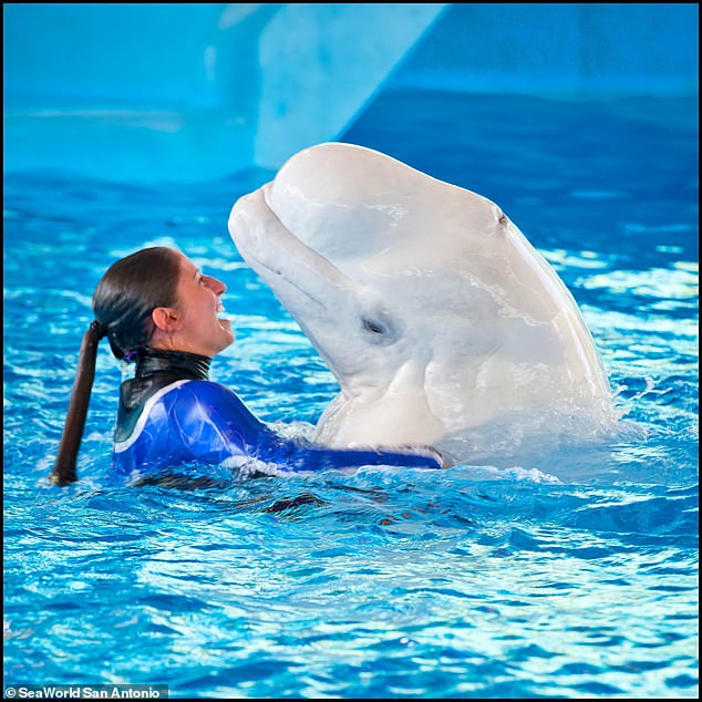 Because of their friendliness and unique coloring, belugas are among the most common marine mammals kept in captivity around the world