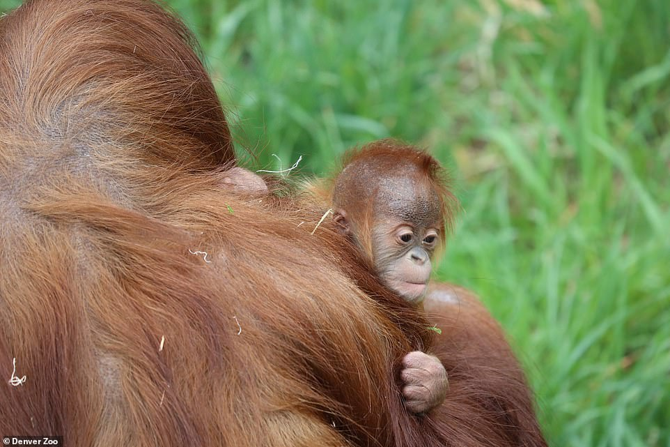 According to Denver Zoo, Nias (pictured holding Cerah) was known as the 'Queen Bee' of the zoo's Great Apes exhibit