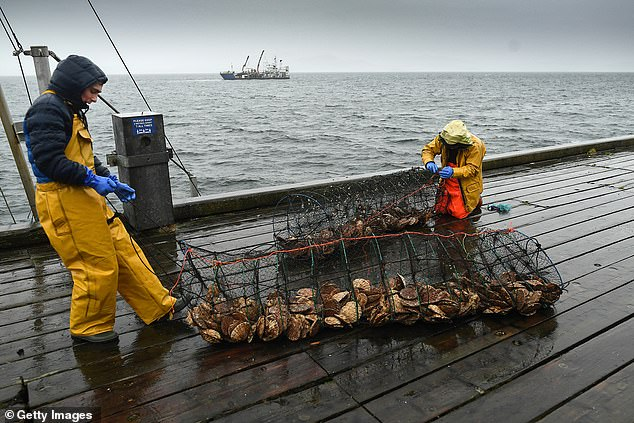 Pictured: Fishermen move clams at the harbour in Tarbert, Scotland yesterday