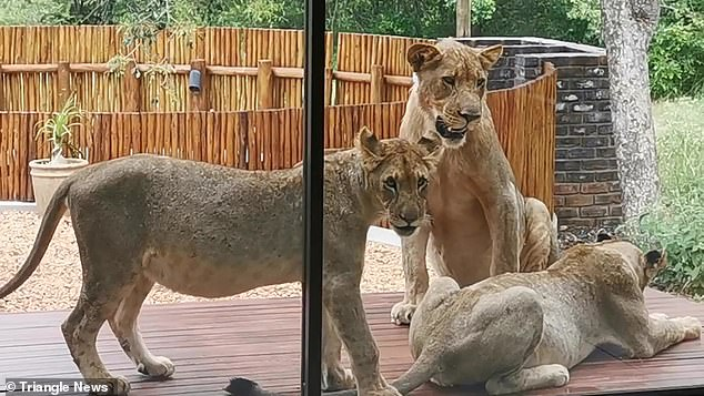 The property where the lions were seen is on the Leadwood Big Game Estate, where homes can reportedly sell for less than £100,000
