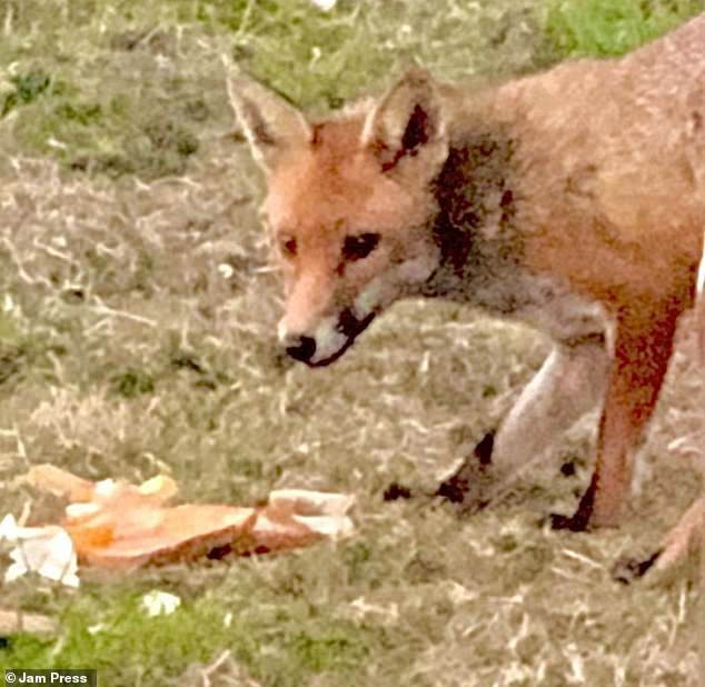 Mr Duggan said the fox is quite well-mannered and will sit on the grass outside his home waiting for food
