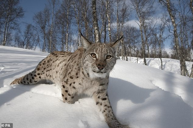 A new study has been launched to assess people's views about the possibility of reintroducing lynx to the Scottish Highlands