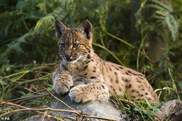 While lynx are thought to be harmless to humans, the experts acknowledge that their reintroduction to the UK will bring challenges